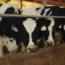 """Monitoramento de vacas de leite foi """"divisor de águas"""" para a mineira Agropecuária REX"""