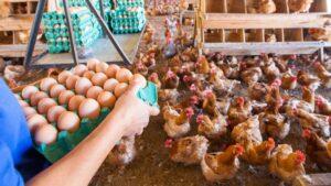 ONGs pedem que os refeitórios públicos usem ovos de galinhas livres de gaiolas
