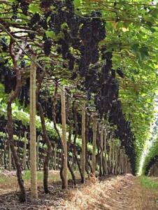 Produção de uva de mesa no Cerrado: produto cada vez mais fresco e de qualidade na mesa do consumidor