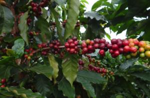Conab estima redução de 38,1% na safra de café em Minas Gerais